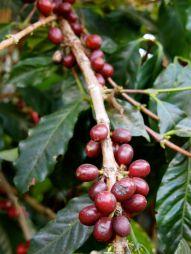 Coffee cherries.