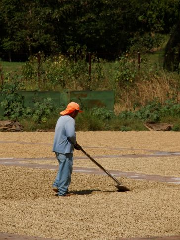 Worker turning the beans so they dry evenly.