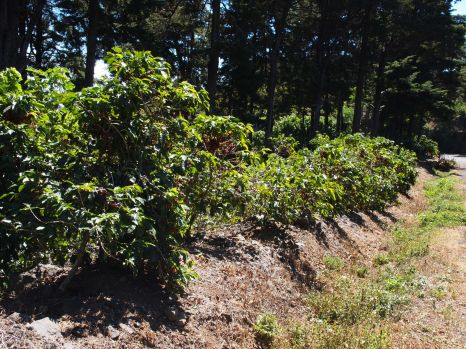 Young coffee trees!